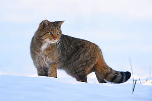 Wild cat (Felis sylvestris) in snow, Vosges, France, February. - Fabrice  Cahez