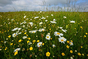 Ox-eye daisy (Leucanthemum vulgare) and Buttercups (Ranunculus acris) and Plantain (Plantago) Vosges, France, May. - Fabrice  Cahez