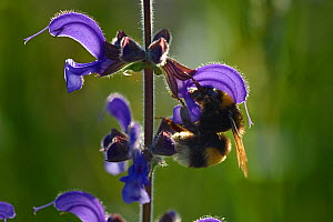 Bumblebee (Bombus sp) foraging at sage flower, Vosges, France, May.  -  Fabrice  Cahez