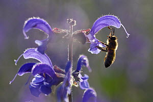 Bee (Apis), foraging on sage flower, Vosges, France, May.  -  Fabrice  Cahez