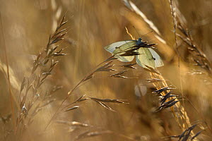 Small white butterfly (Pieris rapae) landing on grass, Vosges, France, July. - Fabrice  Cahez