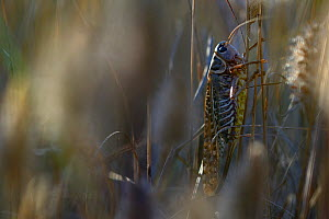 Bush cricekt (Decticus albifrons) in dead grass, Aude, France, July.  -  Fabrice  Cahez