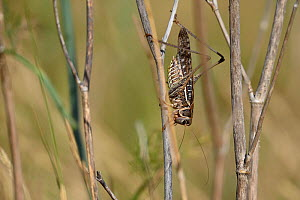 Bush crickets (Decticus albifrons) on dried plant stems, Aude, France, July.  -  Fabrice  Cahez
