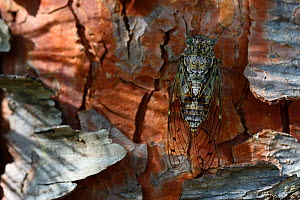 Cicada (Tibicen haematodes) on tree trunk, Aude, France, July. - Fabrice  Cahez