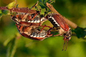 Cockchafer (Melolontha melolontha) males attempting to mate with female,  Vosges, France, May.  -  Fabrice  Cahez