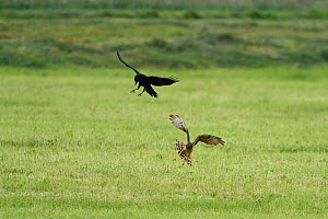 Carrion crow (Corvus corone) mobbing, Hen harrier (Circus cyaneus) female, Vosges, France, May 2015 - Fabrice  Cahez