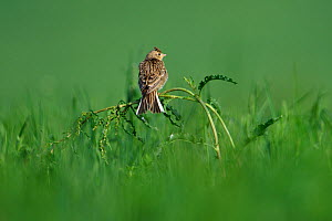 Skylark (Alauda arvensis) in grass, Vosges, France, May.  -  Fabrice  Cahez