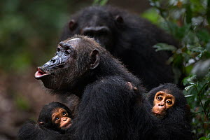 Eastern chimpanzee (Pan troglodytes schweinfurtheii) female 'Gremlin' aged 40 years calling while holding her baby granddaughter aged 2 months and her own infant son aged 2 years. Gombe National Park,... - Fiona Rogers