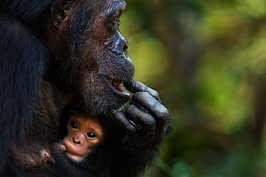 Eastern chimpanzee (Pan troglodytes schweinfurtheii) female 'Gremlin' aged 40 years, holding her granddaughter, age 2 months. Gombe National Park, Tanzania. Gremlin took the new born baby from her dau... - Fiona Rogers
