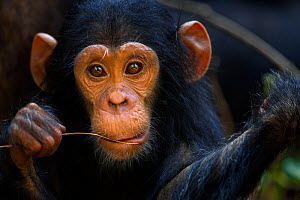 Eastern chimpanzee (Pan troglodytes schweinfurtheii) infant male 'Google' aged 2 years, portrait. Gombe National Park, Tanzania.  -  Fiona Rogers