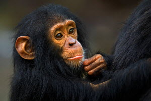 Eastern chimpanzee (Pan troglodytes schweinfurtheii) infant male 'Gizmo' aged 2 years, portrait. Gombe National Park, Tanzania.  -  Fiona Rogers