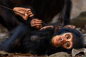 Eastern chimpanzee (Pan troglodytes schweinfurtheii) infant male 'Gizmo' aged 2 years lying on the forest floor. Gombe National Park, Tanzania.  -  Fiona Rogers