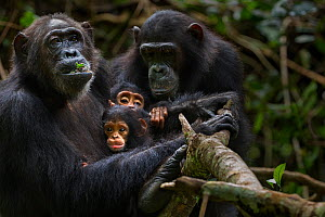 Eastern chimpanzee (Pan troglodytes schweinfurtheii) female 'Gremlin' aged 40 years holding her daughter 'Glitter's' baby daught aged 2 months and her own infant son aged 2 years. With 'Glitter' aged...  -  Anup Shah