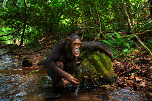Eastern chimpanzee (Pan troglodytes schweinfurtheii) adolescent female 'Golden' aged 13 years drinking water from a stream using leaves as a sponge tool. Gombe National Park, Tanzania. - Anup Shah