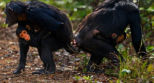 Eastern chimpanzee (Pan troglodytes schweinfurtheii) female 'Fanni' aged 30 years rubbing genitals with female 'Gaia' aged 22 years to comfort her after a disagreement with another chimpanzee. Gombe N...  -  Anup Shah