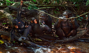 Eastern chimpanzee (Pan troglodytes schweinfurtheii) female 'Gremlin' aged 40 years holding her daughter 'Glitter's' baby aged 3 months. With her daughter 'Gaia' aged 18 years and infant son 'Gizmo' a... - Anup Shah