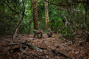 Olive baboons (Papio anubis) sitting on the forest floor. Gombe National Park, Tanzania.  -  Anup Shah