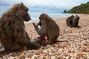 Olive baboon (Papio anubis) male and female with young baby sitting on the shore of Lake Tanganika. Gombe National Park, Tanzania. - Anup Shah