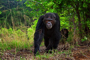 Eastern chimpanzee (Pan troglodytes schweinfurtheii) male 'Faustino' aged 22 years walking along a track preparing to display. Gombe National Park, Tanzania. - Anup Shah