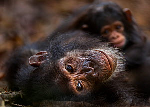Eastern chimpanzee (Pan troglodytes schweinfurtheii) adolescent female 'Golden' aged 13 years lying on her back with her baby daughter aged 1 month on her chest. Gombe National Park, Tanzania.  -  Anup Shah