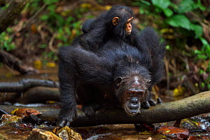 Eastern chimpanzee (Pan troglodytes schweinfurtheii) female 'Gremlin' aged 40 years drinking from a stream while carrying her daughter 'Glitter's' first born daughter aged 2 months and her own infant... - Anup Shah