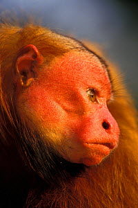 Bald head uakari monkey (Cacajao calvus rubicundus) captive, occurs in Amazonian Peru, and Brazil. - Roland  Seitre