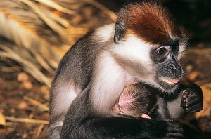 Red-capped mangabey (Cercocebus torquatus) with baby, captive, occurs in coastal forests in central west Africa. - Roland  Seitre