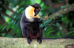 Diana monkey (Cercopithecus diana) examining fingers, captive, occurs in West Africa.  -  Roland  Seitre
