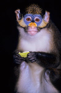Moustached monkey (Cercopithecus erythrotis) portrait whilst feeding, captive, occurs in Cameroon, Equatorial Guinea, and Nigeria.  -  Roland  Seitre