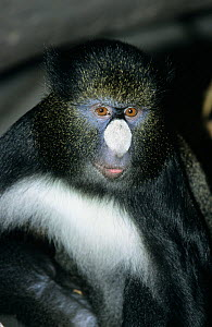 Bioko putty-nosed monkey (Cercopithecus nictitans martini) captive, endemic to Bioko, Equatorial Guinea - Roland  Seitre