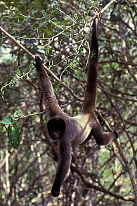 Gray woolly monkey (Lagothrix cana) climbing, captive, occurs in Brazil, Bolivia, and Peru. - Roland  Seitre