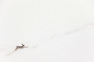 Mountain hare (Lepus timidus) in white winter coat stretching - in snowy habitat, Scotland. Highly Commended in the Mammals category of the GDT European Photographer of the Year Competition 2015. - Mark  Hamblin