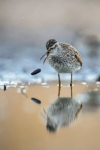 Wood sandpiper (Tringa glareola) regurgitating a pellet on the shore of a small lake, Southern Estonia, May. - Sven  Zacek