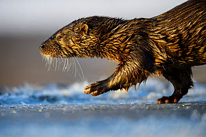 Otter (Lutra lutra) walking in fresh ice, Southern Estonia, January.  -  Sven  Zacek
