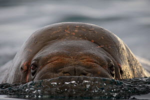Walrus (Odobenus rosmarus) swimming towards a camera, Magdalenefjorden Fjord, Svalbard, Spitsbergen, Norway. June. - Sven  Zacek
