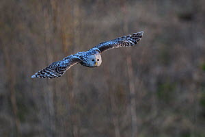 Female Ural owl (Strix uralensis) flying over a clear-cut area, Southern Estonia, May. - Sven  Zacek