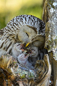 Ural owl (Strix uralensis) female feeding her young with part of  a pellet it has regurgitated. Estonia, May. - Sven  Zacek