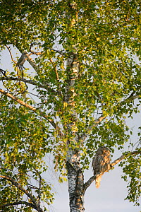 Ural owl (Strix uralensis) perched on a birch tree with a Grey-headed woodpecker (Picus canus), Southern Estonia. June.  -  Sven  Zacek