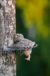 Ural owl (Strix uralensis) chick trying to climb an aspen tree with its beak, talons and wings, Southern Estonia. June.  -  Sven  Zacek