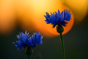 Cornflower (Centaurea cyanus) at sunset, with bokeh affect, Jogevamaa, Estonia, June. - Sven  Zacek