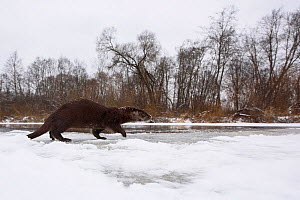 Wide angle view of Otter (Lutra lutra) walking on the ice  of a river, Southern Estonia, January. - Sven  Zacek