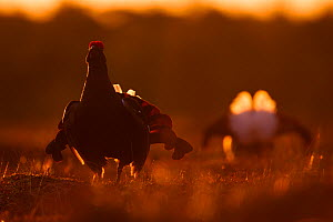Black grouse (Tetrao tetrix) males lekking at sunrise, Southern Estonia, April. - Sven  Zacek