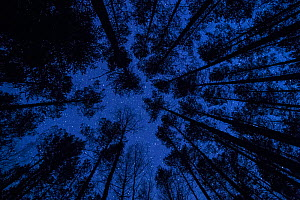 Low angle view up  through Pine forest  to stars in  night sky, Valgamaa, Estonia, April. - Sven  Zacek
