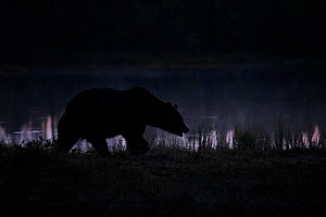 Brown bear (Ursus arctos) at night, near a foggy forest lake, Kuhmo, Finland, April.  -  Sven  Zacek