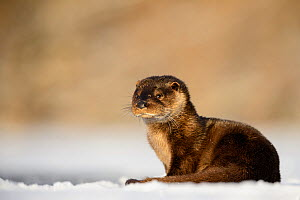 Otter (Lutra lutra) resting in snow, Southern Estonia. January.  -  Sven  Zacek