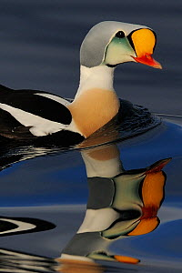King eider duck (Somateria spectabilis) male, Batsfjord village harbour, Varanger Peninsula, Norway.  -  Staffan Widstrand
