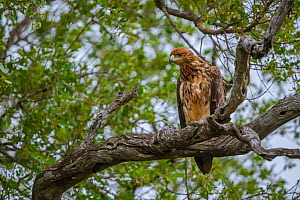 Tawny eagle (Aquila rapax) perched in a tree, Kruger National Park, South Africa.  -  Neil Aldridge