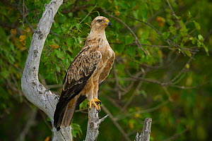 Tawny eagle (Aquila rapax) perched on a dead tree stump on the banks, Zibadianja Lagoon,,Selinda Reserve, Botswana.  -  Neil Aldridge