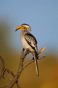 Southern yellow-billed hornbill (Tockus leucomelas) perched on a broken branch, Kruger National Park, South Africa.  -  Neil Aldridge