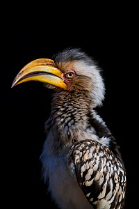 Portrait of a Southern yellow-billed hornbill (Tockus leucomelas) in early morning. Kruger National Park, South Africa.  -  Neil Aldridge